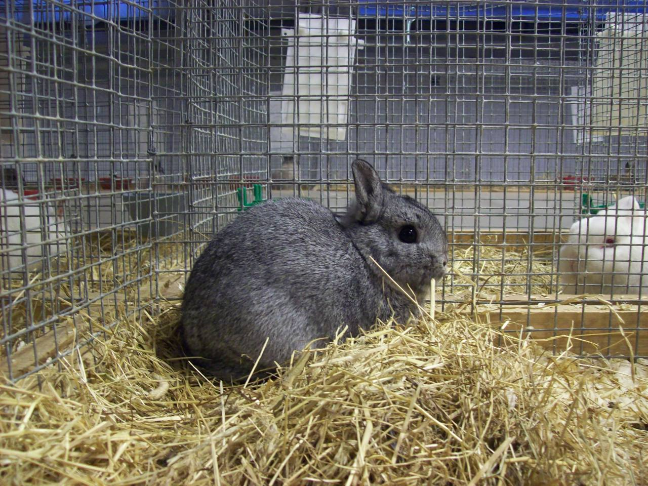 Hermelin Chinchilla
